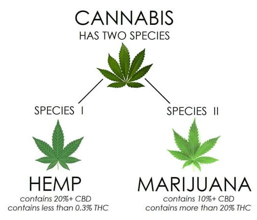 The differnce of cannabis, hemp and marijuana